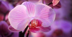 orchidée nervurée1920