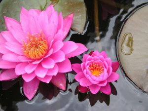 fleur de lotus rose920